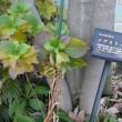 No.2890  目薬の木その2