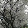 春でございます。今年の桜はちと長くないかい?