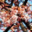 相模が丘「仲良し小道=桜百華の道」河津桜が見頃となる!!