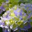 紫陽花の咲くころ Ⅳ ~ぬかた園地①