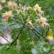 メジロ 合歓の木の花