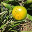 蜜柑という果実