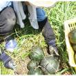 夏野菜の管理と蕎の種まき