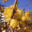 季節の花「蠟梅 (ろうばい)」