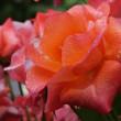 『旧吉田茂邸のバラ』 プリンセス・ミチコ