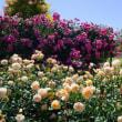 松阪ベルファーム「ローズガーデンの薔薇」見てきました~(^^)