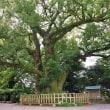 高良山の楠樹