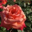 2018春薔薇 1