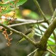 オオルリ・アオゲラ・キビタキ・コゲラ  森林植物園