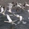 白鳥に会いに安曇野へ(5)
