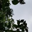 ネズミモチの木