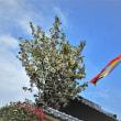 長福寺の牡丹桜