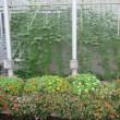 グリーンカーテンに最初に咲いたのは るこう草でした