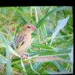 サンダカン側の野鳥の7