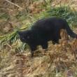 ユリィ&ベッカムVS黒猫