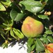 木瓜の実、成長!