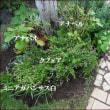 妖精のお庭にカルーナ・ブルガリスを!