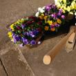 2018・4・26 いいやま菜の花まつり2018を待つ飯山市。もう菜の花満開!