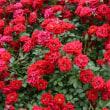 ベストの赤い薔薇