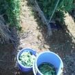 ツルインゲンにツルが  エンドウ収穫