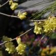 トサミズキ(マンサク科・トサミズキ属)落葉低木