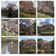 千葉みなと公園 枝垂れ桜