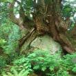 やっぱり巨木に惹かれます