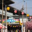 三浦海岸 河津桜  もう直終わりです