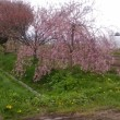 今日は犬の散歩の時に多分しだれ桜かと!