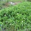 空芯菜の花