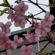 函館匂桜3.18
