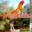 Daftar Sabung Ayam 18 Agustus 2017