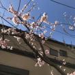 今日の歳時記。杏の花