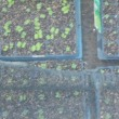 秋野菜の発芽