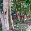 イスノキ:柞の木(珍しい群生自然林)