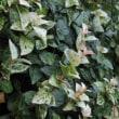 <ハツユキカズラ(初雪葛)> カラフルなテイカカズラの斑入り種