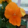 オレンジ色の パンジー