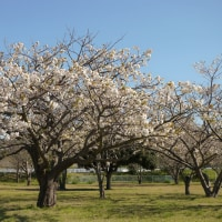 No.4580  八重桜