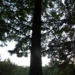 1246 「真夏日、三宝寺池の夕暮れ」