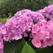 梅雨空の野畦に 「紫陽花」 咲く・・・