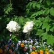 4/21 白いボタンの花が咲いた!