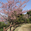 上関・河津桜