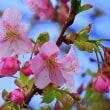 一条戻橋の河津桜つぼみ膨らむ 一部開花も