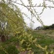 多摩川の柳の木の花