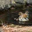 シロハラ 水浴び