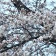 「ついに小金井の桜も咲き出しました」