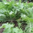 久しぶり晴れ間に家庭菜園 レタス・白菜・ソラマメなど