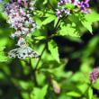 アサギマダラの幼蝶