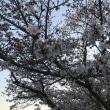 桜・・満開!!