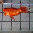 ウチの金魚・・・・